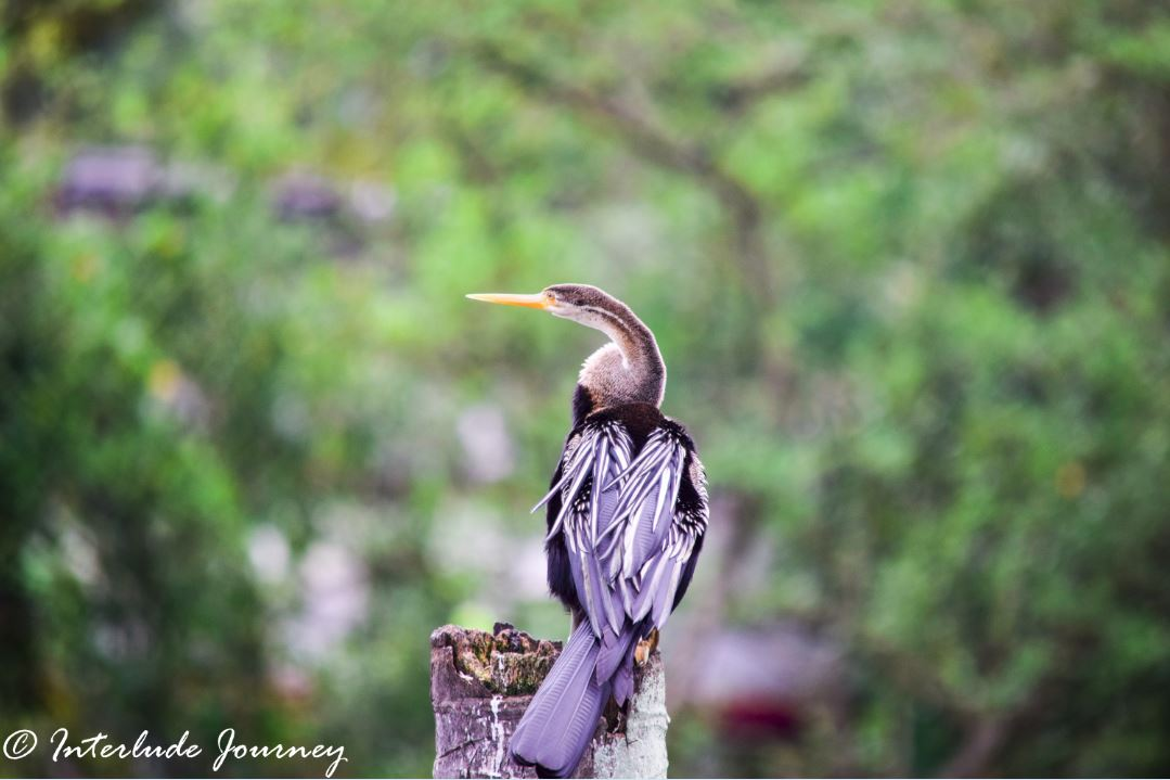 Darter in Kochi backwaters
