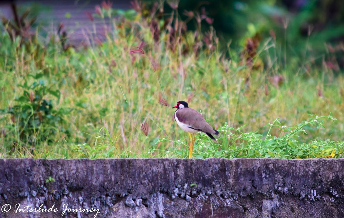 Red-wattled Lapwing in Kochi Backwaters
