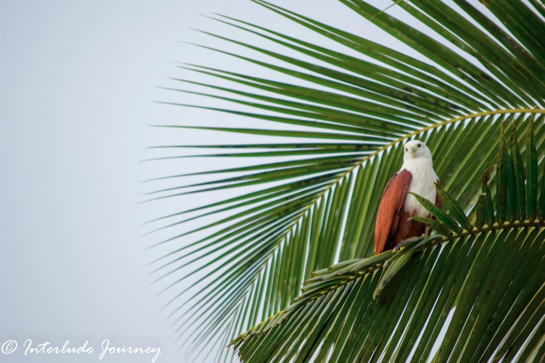 Brahmini kite in Kochi backwaters