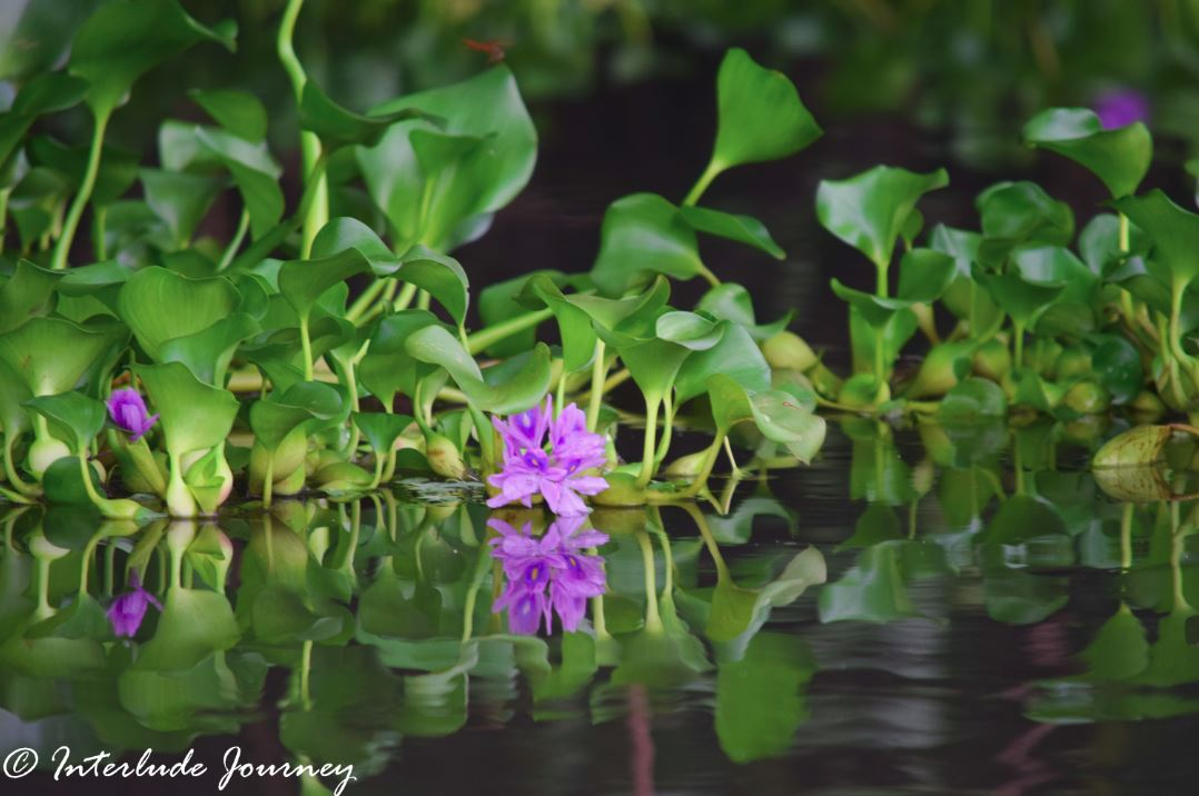 water hyacinth weed with flowers
